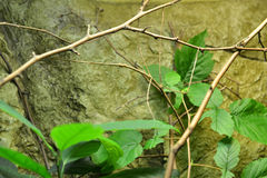 Giant stick insect Stock Image