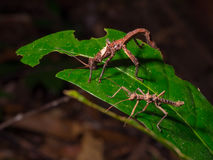 Giant Stick insects of Borneo Stock Image