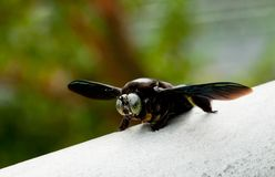 Giant Carpenter Bee Stock Photography