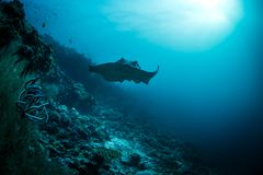 Giant stingray swims  into view around edge of  coral reef. Giant stingray swims over coral reef Stock Images