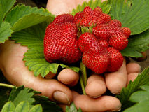 Giant strawberry Stock Photos