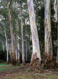 Giant stringy bark gum trees Royalty Free Stock Images