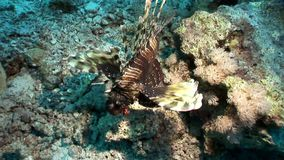 Giant striped poisonous fish Common lionfish Pterois volitans in Red sea. Sharp fins. Relax underwater video about devourer of marine inhabitants stock video footage