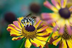 Giant striped wasp chrysanthemum flower. Macro view insect searching honey nectar. Shallow depth of field, selective Stock Images