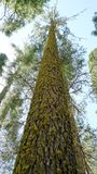 Giant Sugar Pine in Sequoia National Park Stock Photo