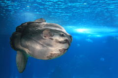 Giant sunfish. Floating in water stock images