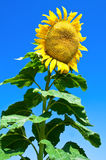 Giant sunflower Stock Photos