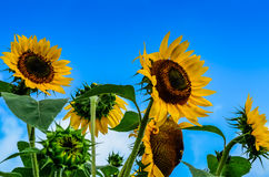 Giant Sunflower Background. Heads of giant golden yellow sunflowers with blue sky background for text, use for summer or circle of life concept. Flowers range Stock Photography