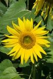 Giant Sunflower Stock Images