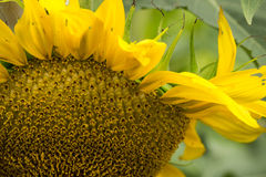 Giant Sunflower Royalty Free Stock Images