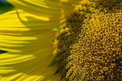 Giant Sunflower Close-up stock photo