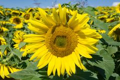 Giant Sunflower in a Field Royalty Free Stock Images
