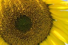 Giant Sunflower Stock Photos