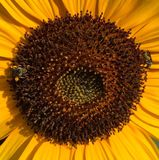 Giant sunflower Royalty Free Stock Photography