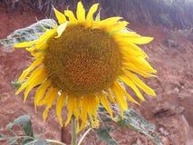 giant sunflower royalty free stock photos