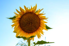 Giant sunflower Stock Photography