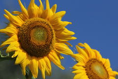 Giant sunflowers. A beautiful and sunny day on holiday in Italy. Contrast of the enormous yellow sunflowers against blue sky Stock Image