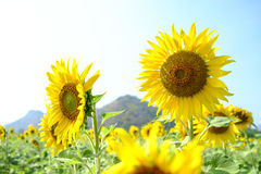 Giant sunflowers royalty free stock photography
