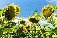 Lazy Afternoon - Droopy Sunflowers. Giant sunflowers nod off in the hot summer sun. Yolo County, California, USA royalty free stock photography