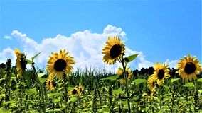 Sunflower sentinels horizontal royalty free stock images