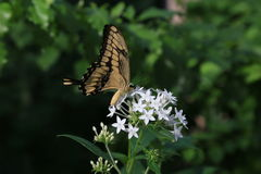 Giant-Swallotail butterfly Royalty Free Stock Photo
