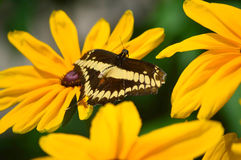 Giant Swallow Tail Butterfly Stock Image