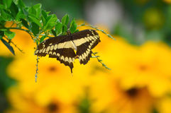 Giant Swallow Tail Butterfly and Sunflowers Royalty Free Stock Photography