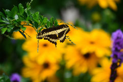 Giant Swallow Tail Butterfly and Sunflowers Royalty Free Stock Image