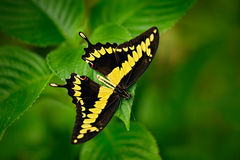 Giant Swallow Tail, Papilio thoas nealces, beautiful butterfly from Mexico. Butterfly sitting on the leaves. Butterfly from Mexico Royalty Free Stock Photo