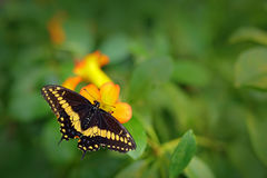 Giant Swallow Tail, Papilio thoas nealces, beautiful butterfly from Mexico. Butterfly sitting on the leaves. Butterfly from Mexico. Central America stock image