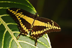Giant Swallow Tail, Papilio thoas nealces, beautiful butterfly from Mexico. Butterfly sitting on the leaves. Butterfly from Mexixo Royalty Free Stock Images