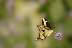 Giant swallowtail. Yellow butterfly Royalty Free Stock Image