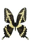 Giant Swallowtail. Butterfly isolated on a white background Royalty Free Stock Image