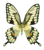 Giant Swallowtail. Underside of a giant swallowtail butterfly isolated on white Stock Photography