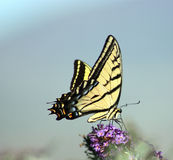 Giant swallowtail Royalty Free Stock Photo