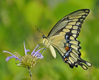 Giant Swallowtail. A giant swallowtail gathers nectar from a flower Royalty Free Stock Image