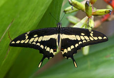 Giant swallowtail butterfly 1 Stock Photos