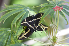 Giant swallowtail butterfly Stock Image