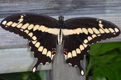 Giant Swallowtail Butterfly. Papilio cresphonte Stock Photography
