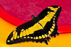 Giant swallowtail butterfly Royalty Free Stock Photography