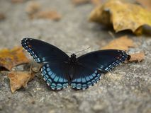 Giant Swallowtail Butterfly. Black and blue giant swallowtail butterfly close up shot royalty free stock photos