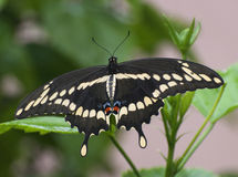 Giant Swallowtail Butterfly. Black, pale yellow, red, and blue giant swallowtail butterfly against a blurred green plant and pale peach colored wall background royalty free stock image