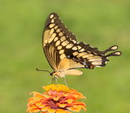 Giant Swallowtail butterfly feeding on a flower Stock Photography