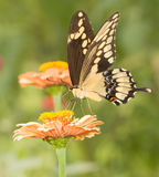 Giant Swallowtail butterfly feeding on a flower Stock Image