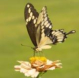 Giant Swallowtail butterfly feeding on a light orange Zinnia Stock Image