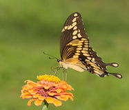 Giant Swallowtail butterfly feeding on an orange Zinnia Stock Images