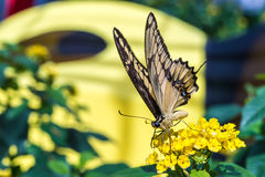 Giant Swallowtail butterfly feeding Stock Photography
