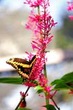 Giant swallowtail butterfly feeding Royalty Free Stock Photos