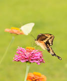Giant Swallowtail butterfly feeding on Zinnia flower Stock Image