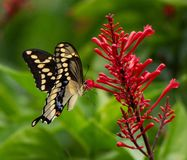 Giant Swallowtail Butterfly on Firespike Shrub. Chocolate brown swallowtail butterfly with bands of yellow spots and blue and red markings is fluttering around royalty free stock photography